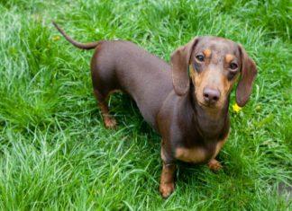 cho-dachshund