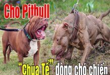 cho-pitbull